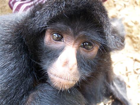black monkey black headed spider monkey ateles fusciceps mammals