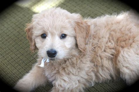 mini goldendoodles teddy 17 best images about my puppy on louis xvi