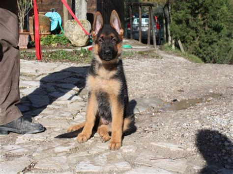 pastore tedesco in appartamento allevamento cani pastore tedesco monte poliziano