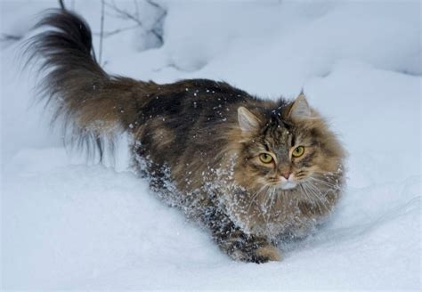 Norwegian Forest Cat History, Personality, Appearance