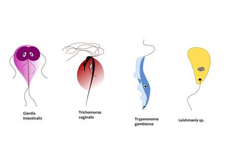 test leishmania leishmaniasis parasite