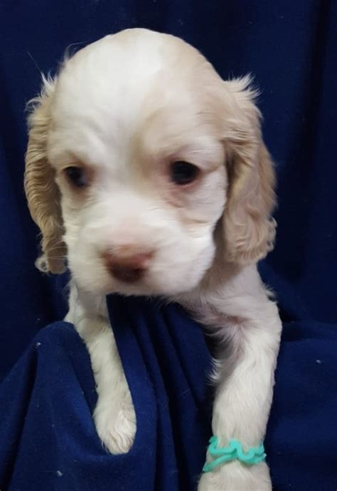puppies for sale in springfield ma view ad cocker spaniel puppy for sale massachusetts springfield