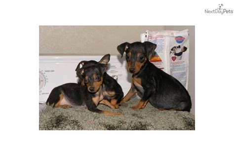 teacup miniature pinscher puppies for sale teacup pinscher for sale breeds picture