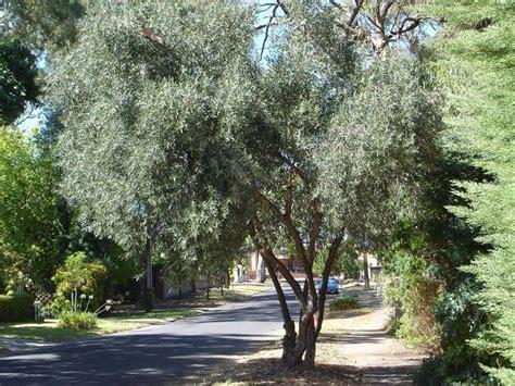 albero da giardino sempreverde alberi da giardino sempreverdi alberi latifolie alberi