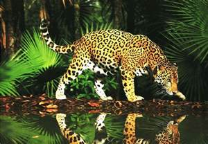 Jaguars Prey In The Rainforest Leopard Animal Animals Wiki Pictures Stories