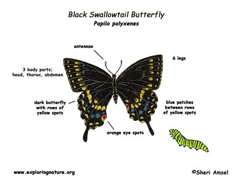 diagram of a butterfly butterfly black swallowtail