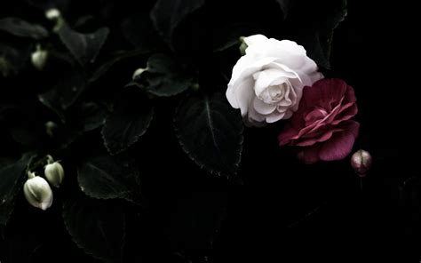 hd wallpapers for laptop rose black rose wallpapers wallpaper cave