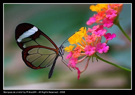 imagenes mariposas de cristal mariposas greta oto con alas de cristal m 225 s que un