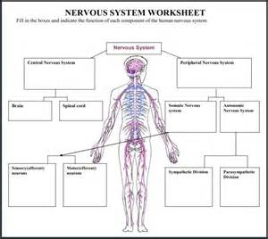 anatomy physiology coloring book chapter 7 nervous system a variety of materials for 3rd 12th grades club