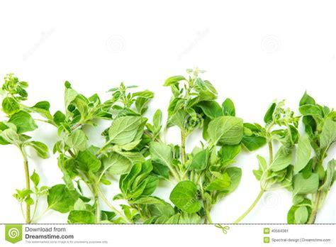 origan frais en cuisine origan frais image stock image du nature aromatique