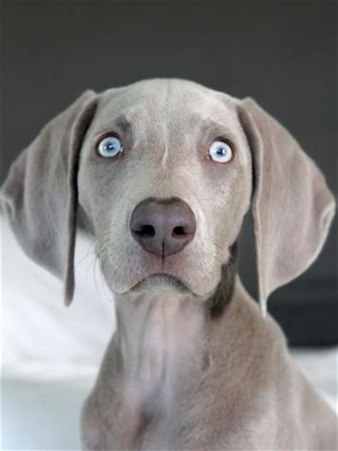 weimaraner puppies near me top 25 best blue weimaraner puppy ideas on weimaraner weimaraner puppies