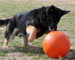 ultimate german shepherd guide puppies behavior study raising amp training gsd dog best of