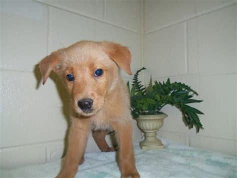blue eyed golden retriever blue eyed golden retriever puppies breeds picture