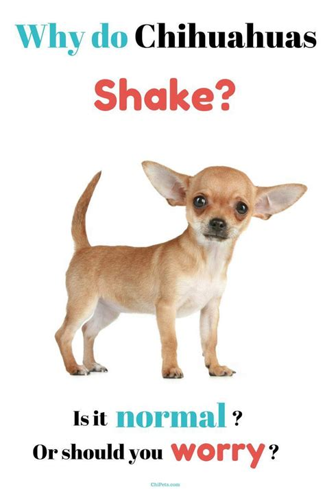 How To Stop Chihuahua From Shedding by 1000 Images About Breeds On Allergies Non Shedding Dogs And Best Breeds