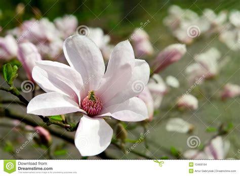 imagenes de magnolias blancas magnolias blancas imagenes de archivo imagen 13469194