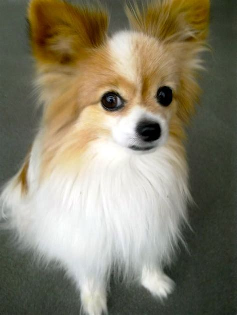 papillon dogs papillon pictures to pin on