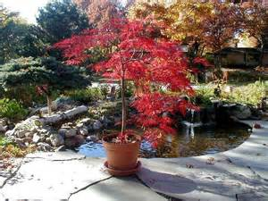 Patio Japanese Maple Potted Laceleaf Japanese Maple Patio Lace