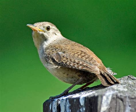 wild birds unlimited house wren didn t migrate this winter
