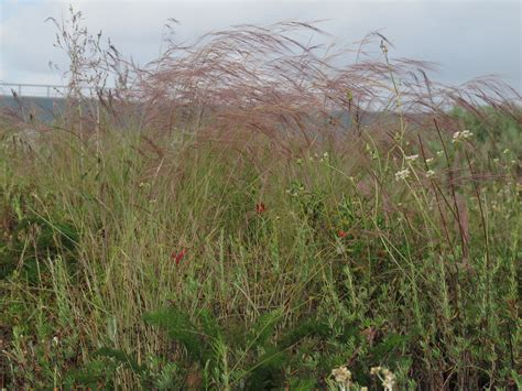 purple three awn a growing passion mexican needlegrass don t plant this a growing passion