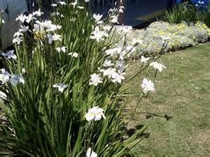 butterfly grass dietes hello hello plants garden supplies