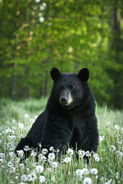 black bear 301 moved permanently