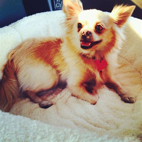 pomeranian and chihuahua chihuahua pomeranian mix breeds picture
