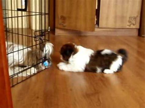 2 month shih tzu shih tzu puppy at 2 months