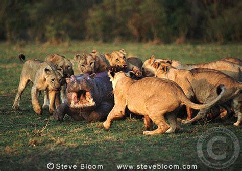 african lions attacking a hippo, masai mara, kenya