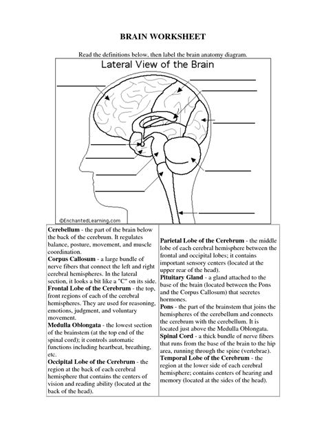 Brain Labeling Worksheet by The Human Brain Worksheets For Science Human