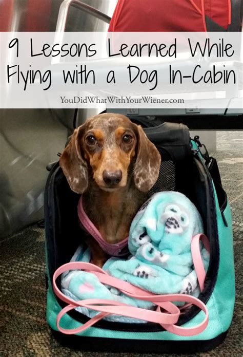 flying with a puppy in cabin flying with dogs in cabin delta dago update