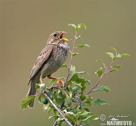 corn bunting pictures corn bunting images naturephoto