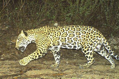 mexican jaguars seeking justice for coraz 243 n jaguar killings test the