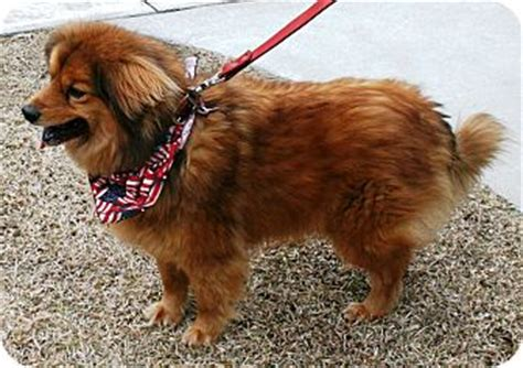 how much does a grown pomeranian weigh the pomeranian australian shepherd mix much more than just a pretty coat