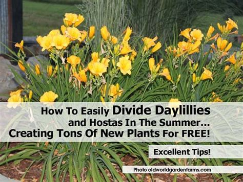 how to easily divide daylillies and hostas in the summer creating tons of new plants for free