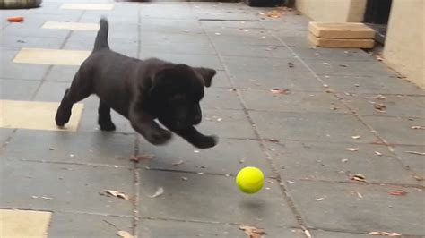 how to play with puppy the cuteness that occurs when this labrador puppy learns how to play with tennis