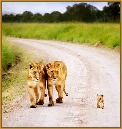 imagenes de leones felises imagenes de parejas de leones enamorados archivos