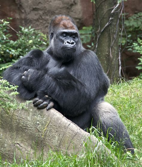 Climate change and evolution of Cross River gorillas