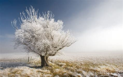frosted tree in the field wallpaper 69558