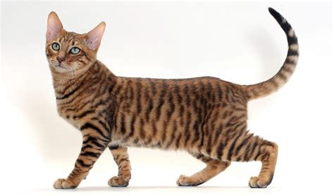 Toyger Cat Breed Information