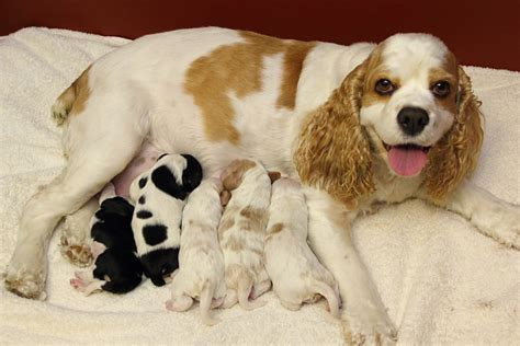 how much are cocker spaniel puppies zim family cocker spaniel puppies