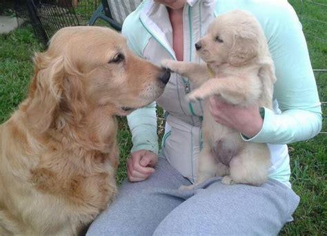 golden retriever attacks child baby golden retriever boop boop