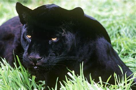 Imagenes De Un Jaguar Negro   161 extraordinario un jaguar negro en el amazonas telemundo 47