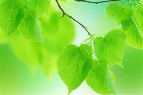 imagenes hojas verdes hojas verdes 80670