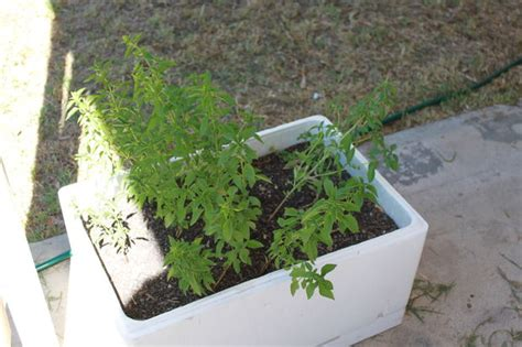 Can You Use Styrofoam In Planters by A Herb Planter Out Of A Foam Box 5 Steps
