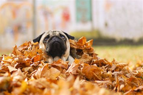 fall pug pug in a pile of leaves pictures photos and images for