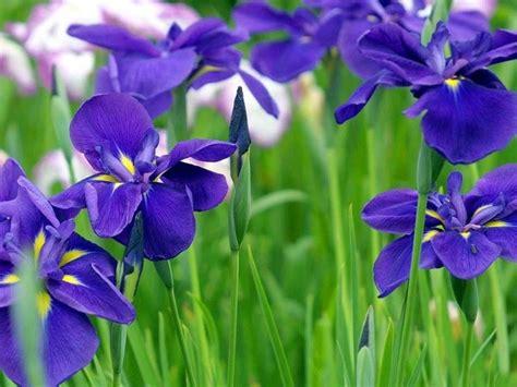 fiori iris significato iris significato dei fiori conoscere il