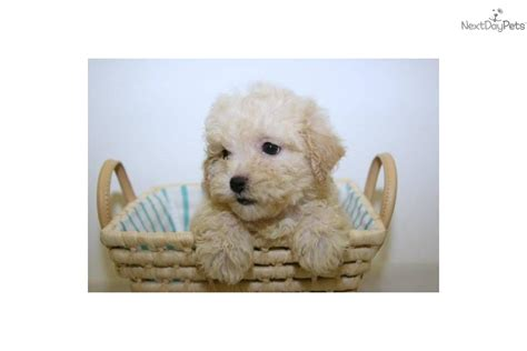 teacup havanese for sale teacup havanese puppies for sale breeds picture
