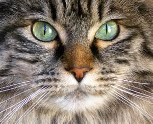 kitten eye color can your cat s change color