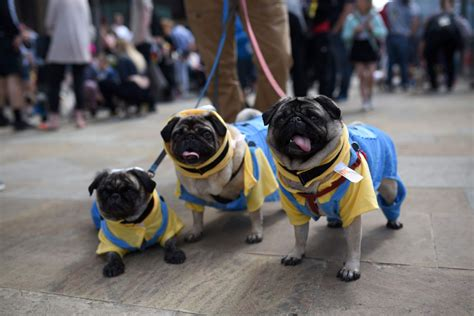 celebrating pugs and pups pugfest in manchester
