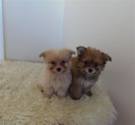 pomeranian x stunning miniature schnauzer puppies uxbridge middlesex pets4homes